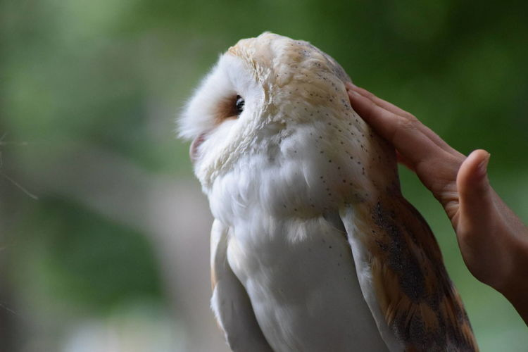 Close-up of cropped hand touching barn owl
