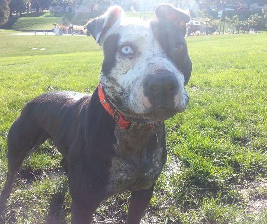 Summer Dogs Pitbulls Pibble Spoon The Dog Mud