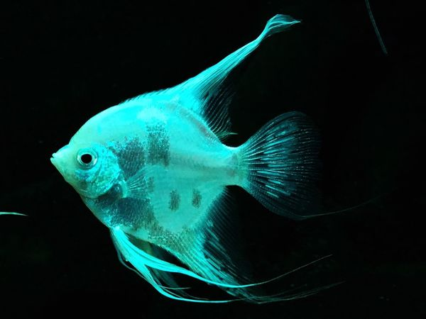 White hero.... White Nature Getting Inspired Animal Themes Animal Wildlife Animals In The Wild Water Swimming Animal Fish Sea Vertebrate One Animal Marine Sea Life Underwater Black Background Studio Shot Close-up Indoors  Aquarium No People UnderSea