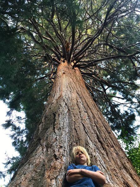Tree Nature Sequoia