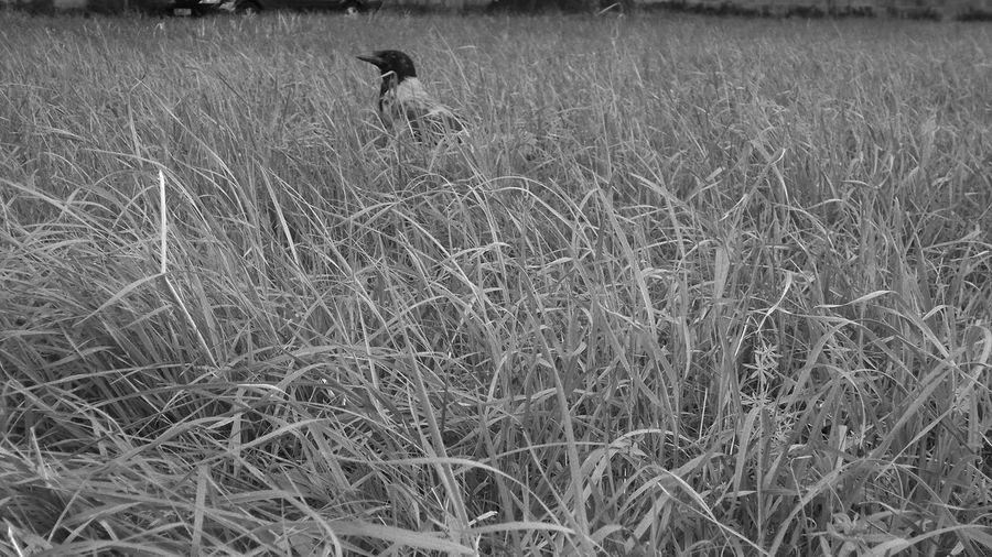 Field Grass One Animal Animal Nature Outdoors Animals In The Wild One Crow Bird Photography Bird Raven
