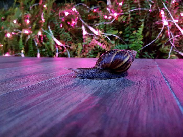badass snail Christmas edition Christmas Lights Christmas Season Close-up Snail Mollusk Crawling Mussel Slimy Slug Animal Antenna Slow Shell Christmas Ornament Holiday Moments