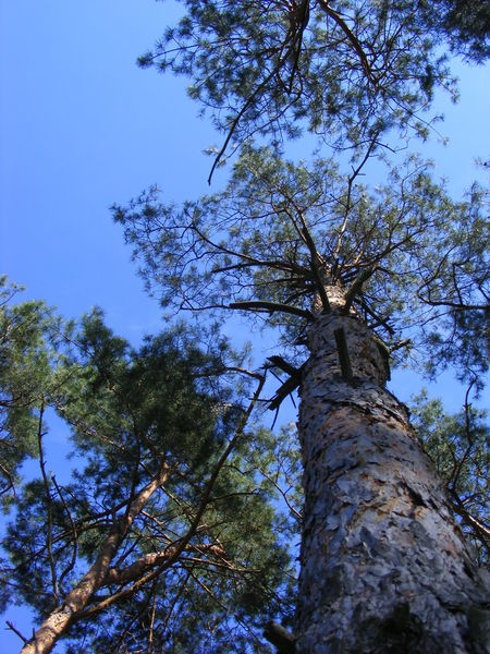 The Purist (no Edit, No Filter) Tree Low Angle View Nature Growth Branch Sky Beauty In Nature No People Outdoors Tranquility Clear Sky Day Close-up In The Forest Beautiful Sky Beautiful Nature Nature Photography Nature On Your Doorstep Pines Nature Ultramarine Sky Collection Beautiful Day Fantastic Landscape