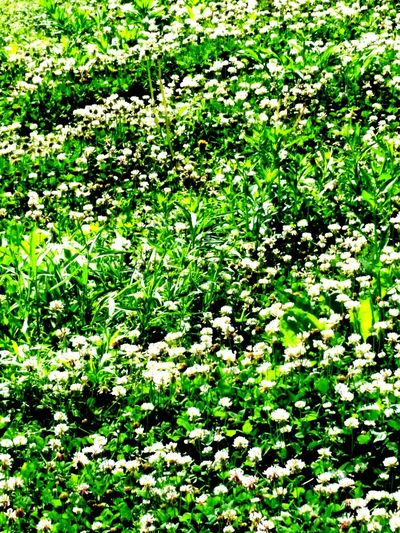 Nature Flower Green Color Growth No People Day Plant Beauty In Nature Outdoors Tranquility Freshness Grass Fragility Close-up Ohio Photo By MarciaLLP Ohio, USA Clover Flower Clover And Bees Clover Field CloverFlower🍀 Green Color