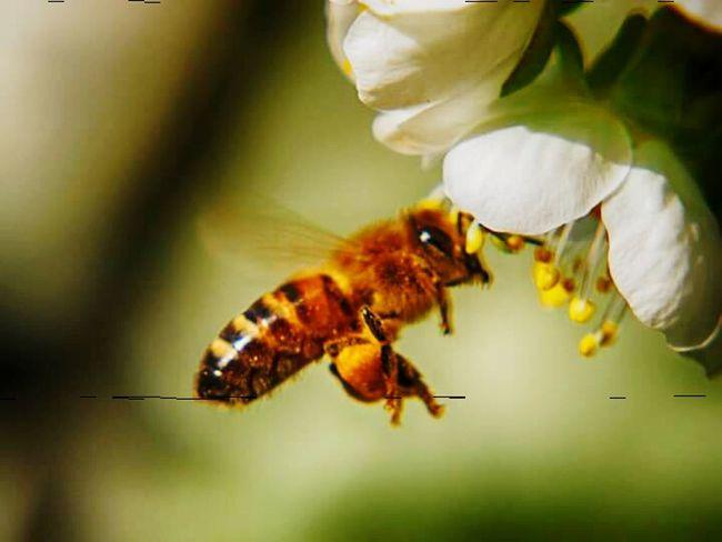 Biene im Anflug auf eine Apfelblüte.