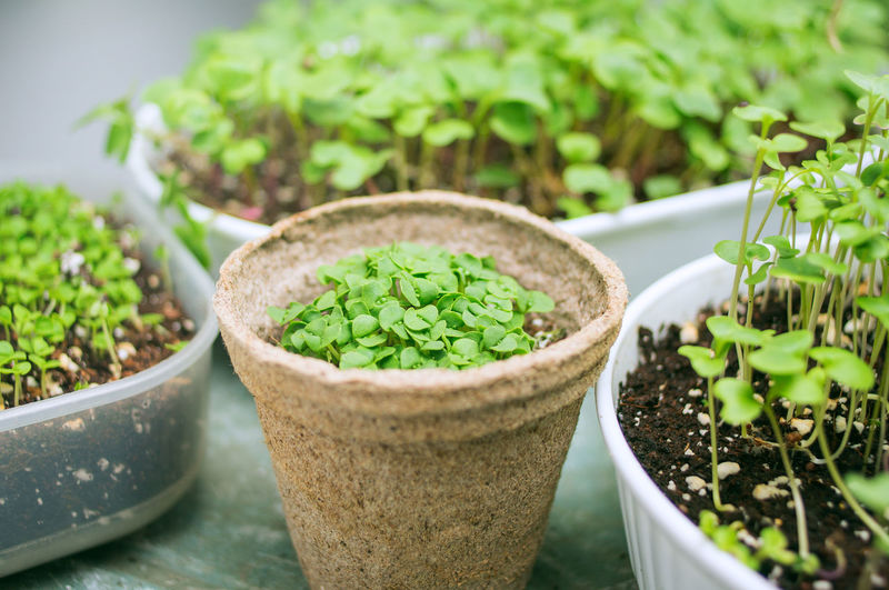 microgreen growing in organic pot Plant Growth Potted Plant Green Color Close-up Food Leaf Nature Freshness Herb Container Vitamins Minerals Green Healthy Eating Energy Organic Pot Artificial Light Micro Soil Edible  Gardening Raw Vegeterian