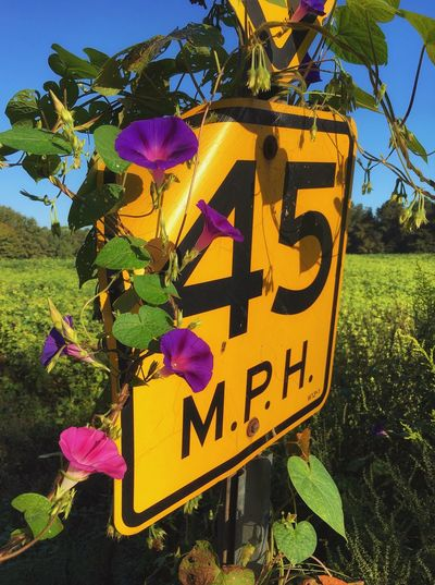 Morning Glory Road Sign Flower Morning Plant Growth Outdoors Nature No People Communication Purple Pink Color Petal Close-up Beauty In Nature Yellow Blooming Sky Freshness Walking Around Textures And Surfaces Taking Photos