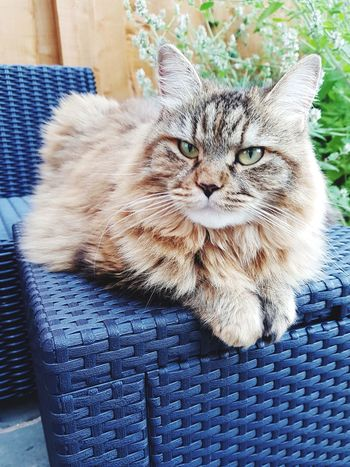 Domestic Cat Domestic Animals Animal Themes Feline Pets Sitting No People Mammal One Animal Outdoors Cat♡ Close-up Portrait Looking At Camera Day Indoors