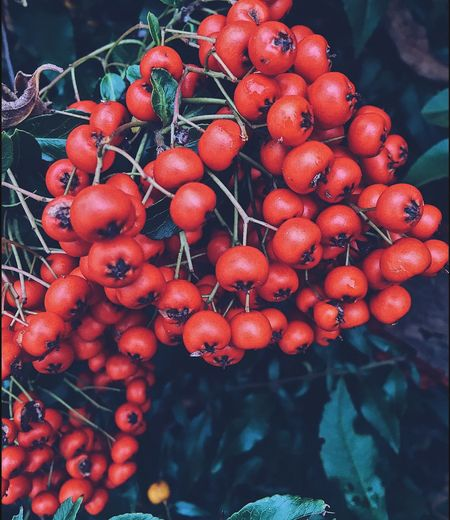Close-up of rowanberry growing on tree