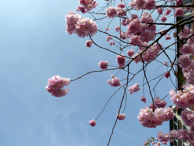 Beauty In My City Millennial Pink Looking Up😍 Unusual Perspective Freshness Nature Beauty In Nature Low Angle View Tranquil Scene Sunny Day In Spring😍 Love To Be Outside Enjoyinglife  Simple Beauty For My Friends 😍😘🎁 Exploding Nature Springtime💛 Blossom Flower Head Springtime Pink Color Flower Fragility Of Life