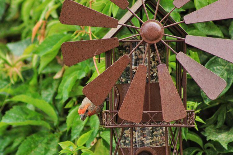 Bird Finch House Finch Birdwatching Bird Feeder Leaves Plant Outdoors Nature
