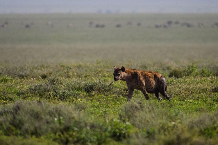 View of hyena on grassy field