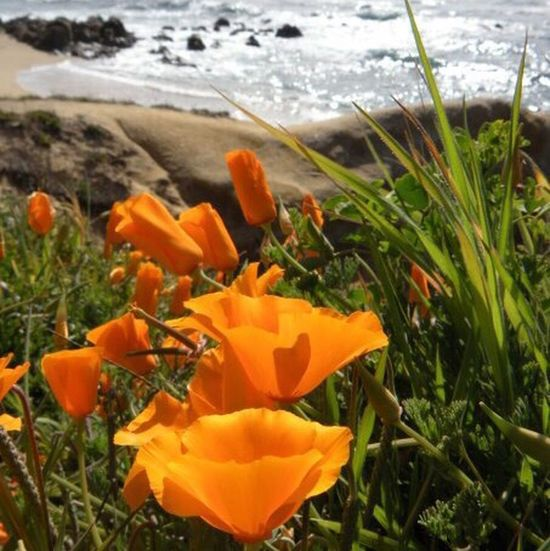 California Poppies Carmel River State Beach Monterey Bay