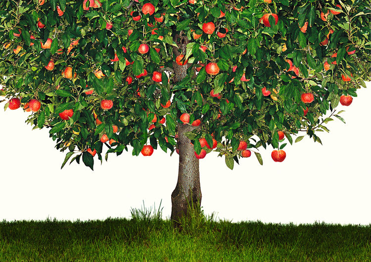 apple tree on white background Agriculture Apple Apple Cider Apple Pie Finance Financial Gain Freshness Fruit Growth Healthy Healthy Eating Invest Investment Low Hanging Fruit Nature Nature Organic Outdoors Planning Plant Ripe Tree