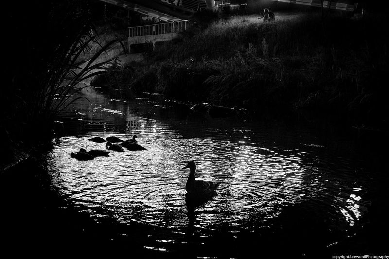 a mother duck with duckling in a river at night Mother Duck Animal Themes Animals In The Wild B & W  B & W Photography B&w B&w Photography Beauty In Nature Bird Day Duck Ducks Goose Lake Mother Duck With Duckling Mother Duck With Ducklings Nature No People Outdoors Swan Swimming Tree Water Water Bird Waterfront