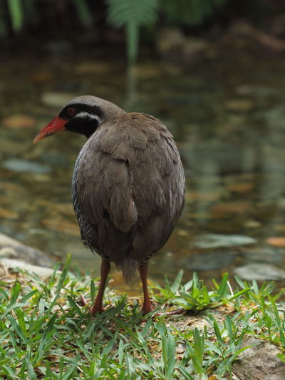 OLYMPUS DIGITAL CAMERA Yanbarukuina Okinawa Japan Birds Natural Monument Rare Photography Can Not Fly