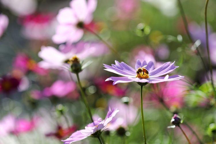 가을의 절정 코스모스 . . #하루한컷 #월드컵경기장 #코스모스 #꿀벌 #5DMARK4 #새아빠백통 #EF70200F28LIIISUSM Flower Head Flower Perching Butterfly - Insect Pollination Defocused Insect Petal Spread Wings Pink Color