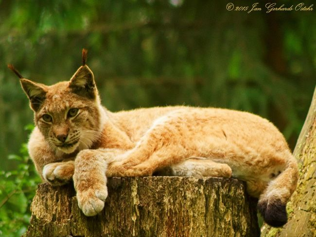 With the Eyes 👀 of a Lynx Nature On Your Doorstep Nature_collection Wildlife & Nature Nature Photography Animal Photography Nature Naturelovers Lynx Animals Animal_collection
