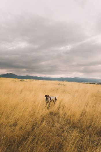 EyeEm Selects Sky Field Grass Cow Nature Landscape Mammal Cloud - Sky Animal Themes Domestic Animals No People Day Beauty In Nature Outdoors Dog Dogs Of EyeEm