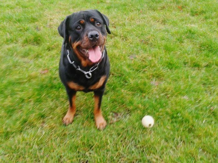 Dogs Of EyeEm Ich Liebe Meinen Hund! Rotti Hunderunde My Big Girl Dogslife ..Ball spielen geht immer!! ;) Dog, Hanging Out, Enjoying Life