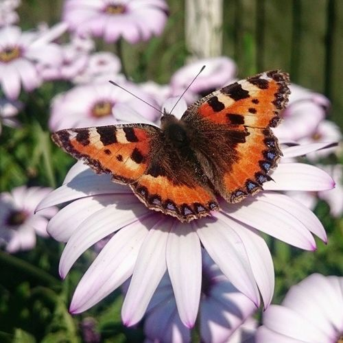 I'm going to miss this garden. Newbeginnings Mygarden Butterflies Daisy Sunnyday Dayoffwork Makingthemostofabadsituation Visitorstomygarden Insectsofinstagram Flowers Pink Colourful Nature Urbanwildlife