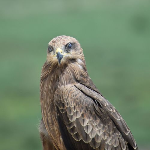 Portrait of a brown kite perched on the terrace