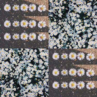 Daisy Daily 🌼🌼🌼🌼 Daisies Flowerpower Hippielife