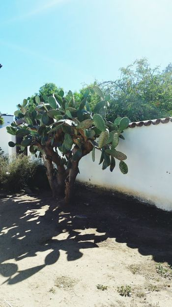Architecture Architecture_collection Cactus Tree Wall Adobe Old Town San Diego San Diego California Dirt Land