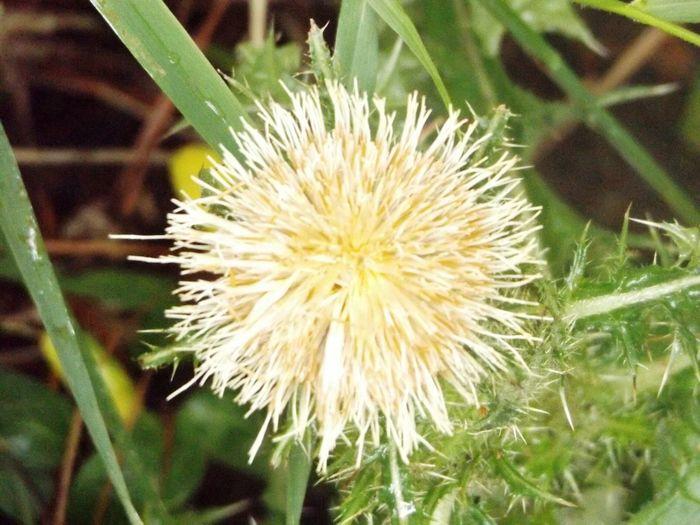Thistle Bloom Flowerpower