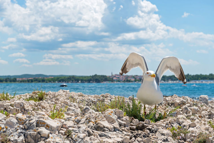 Seagull on the rocky beach in Istria, Croatian coast Animal Themes Animal Wildlife Animals In The Wild Beauty In Nature Bird Cloud - Sky Day Horizon Over Water Nature No People One Animal Outdoors Pebble Perching Rock - Object Scenics Sea Seagull Sky Spread Wings Water