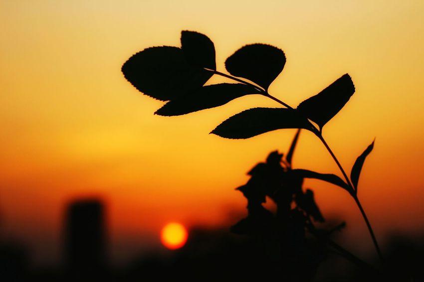 夕阳 Sunset Silhouette Close-up Flower No People Plant Nature Outdoors Beauty In Nature Fragility Flower Head Day Sky 黄昏 夕阳