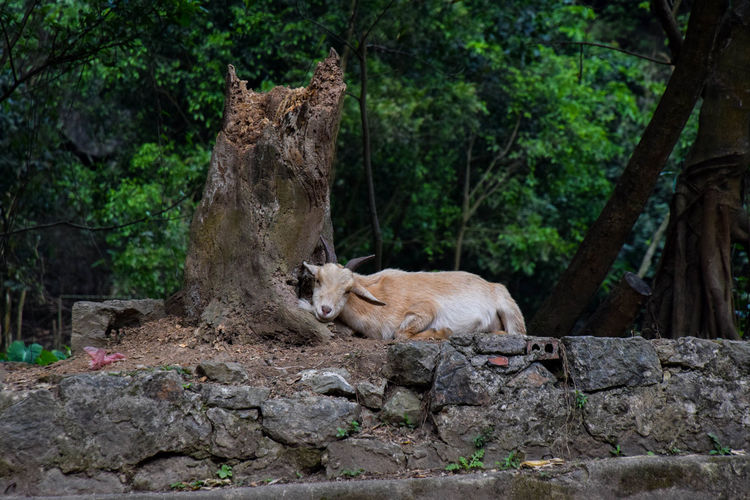 Goat chilling Travel Travel Photography Goat Animal Themes Animals In The Wild Animal Rocks Tree Stump Tree Forest Animal Themes Adventures In The City