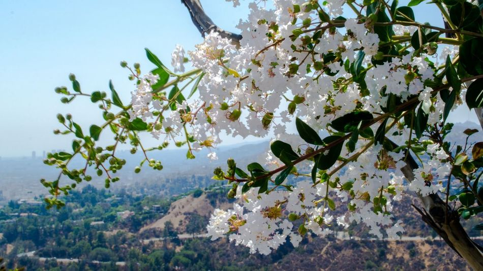 Flower Blossom in LA Blossom Cali California City Flower Friendlylocalguides Griffith Landscape Losangeles Mustsee Observatory Panorama Panoramic USA Views White