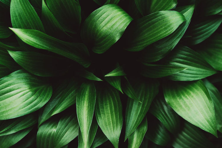 Creative layout made of green hosta leaves. nature background image.