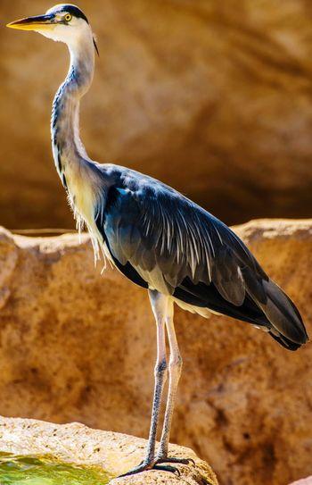 Gray heron perching on rock