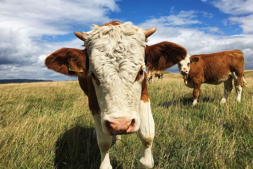Cattle Summer The Great Outdoors - 2017 EyeEm Awards Pet Portraits