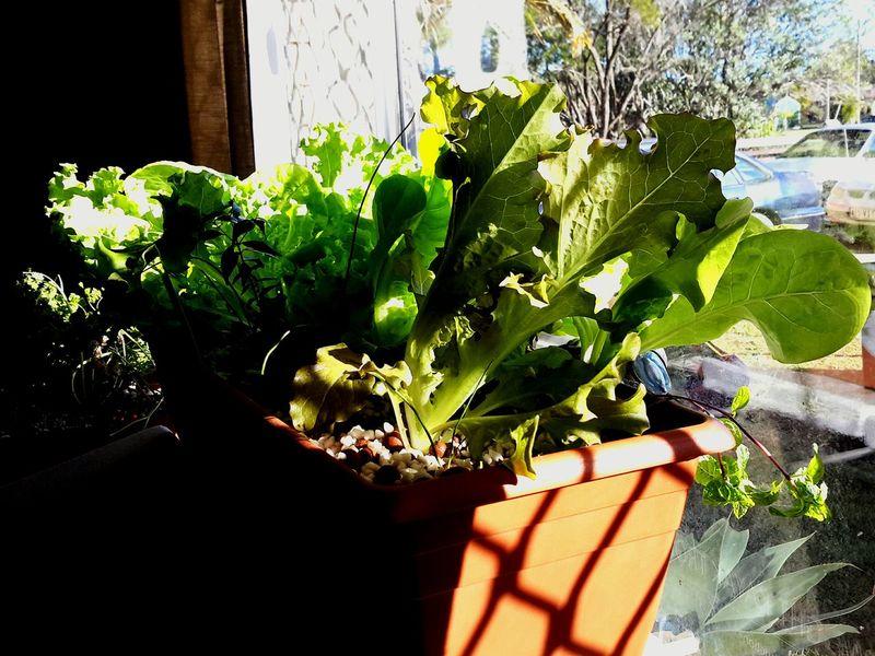 Aquaponics Lettuce Sunlight Sunlight And Shadow