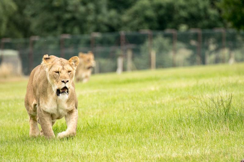 Lion on field