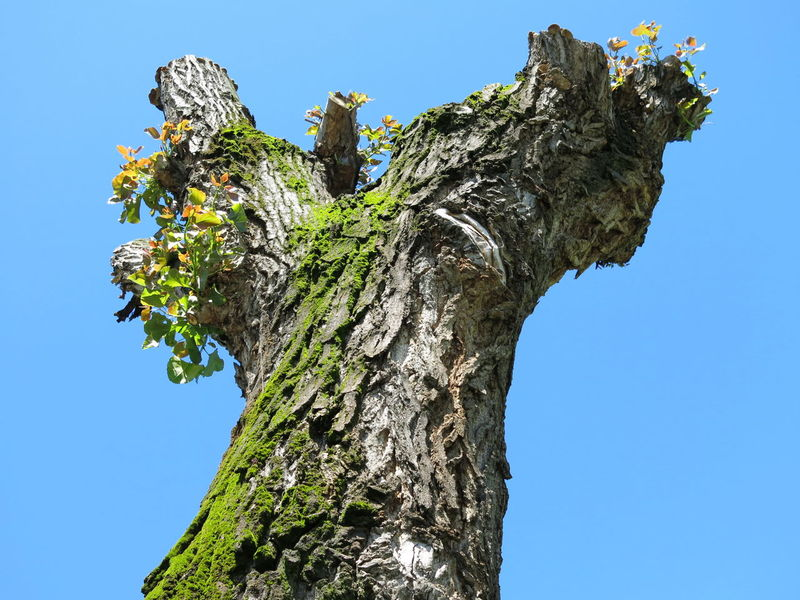 Blue Clear Sky Leftovers Low Angle View Nature No People Outdoors Pruned Tree Trunk