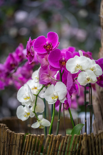 Purple and White Orchids Orchid Beauty In Nature Blossom Flower Flower Arrangement Flower Head Flowering Plant Focus On Foreground Nature No People Petal Pink Color Plant Purple Flower White Flower