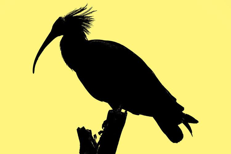 Perching Silhouette Black Yellow Bird Nature Wildlife Bird Yellow Full Length Black Color Animal Themes Close-up Sky Avian Perching