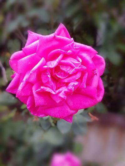 Flower Pink Color Rose - Flower Petal Nature