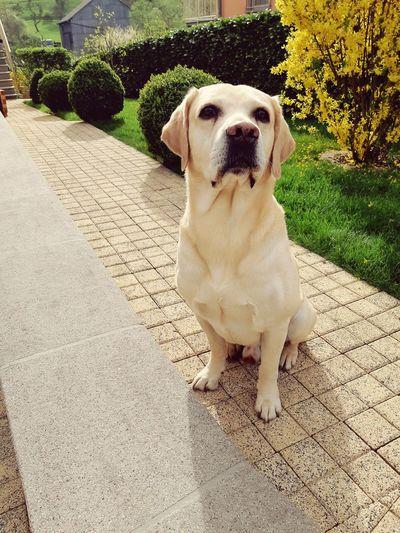 #roki #Chillin #chilling #posing #Labrador #Dogs Of EyeEm Portrait