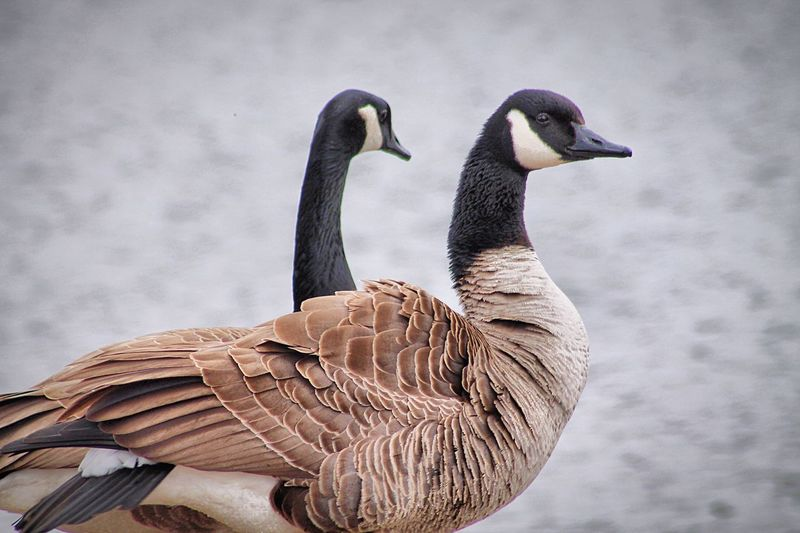 Close-up of canada geese against river