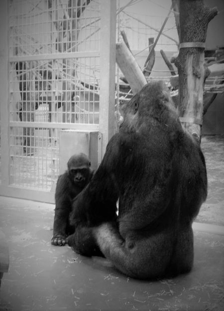 Animal Representation Animal Themes Animals In Captivity Blackandwhite Family Fatherandson Gorilla Gorillas Humanoid Indoors  Mammal Monkey No People Relaxation Sitting Sitting Teaching Thinking Togetherness Two Animals Young Zoo Zoology Black And White Friday