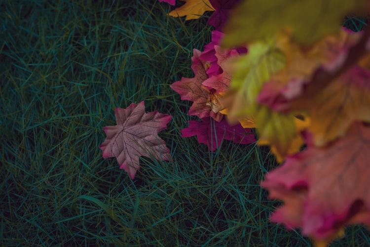 Maple leaves on field