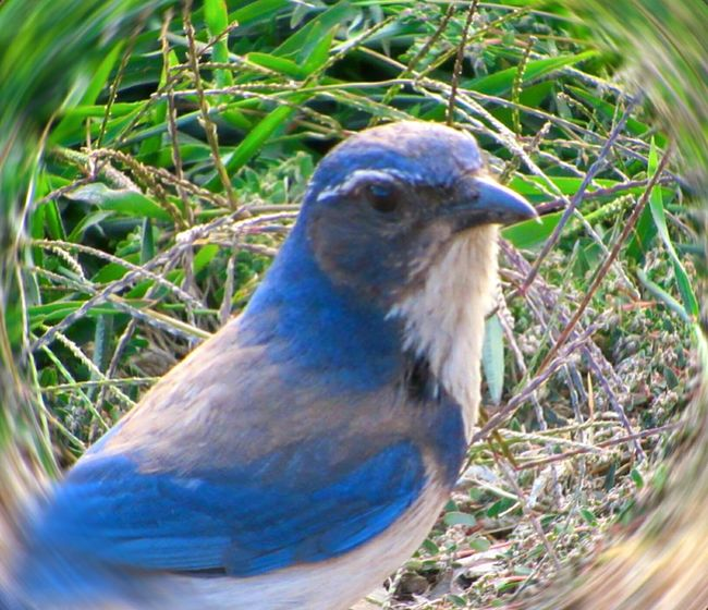 Scrubjay Bird Wildlife Birds Bird Watching Bird Photography Animal Themes Animal Wildlife Animal Photography Nature Close-up One Bird Single Bird Outdoors Outdoor Photography Outside Day Animals In The Wild Beauty In Nature