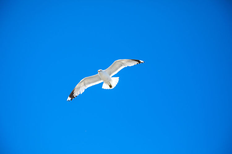 Norway Scandinavia Animal Animal Themes Animal Wildlife Animals In The Wild Bird Blue Clear Sky Copy Space Day Flying Low Angle View Mid-air Nature No People One Animal Outdoors Seagull Sky Spread Wings Vertebrate White Color