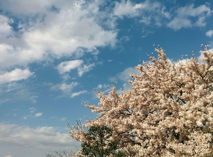 Low angle view of blooming tree against cloudy sky