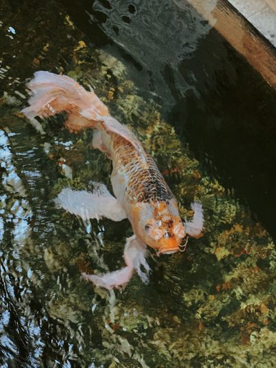 High angle view of koi fish in sea